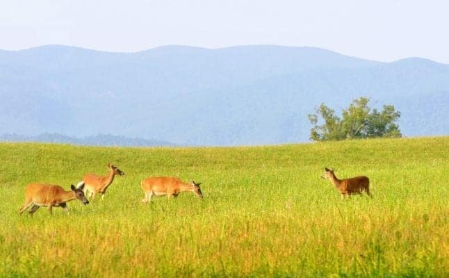 Wildlife deer in the Cades Cove valley in the Great Smoky Mountains National Park