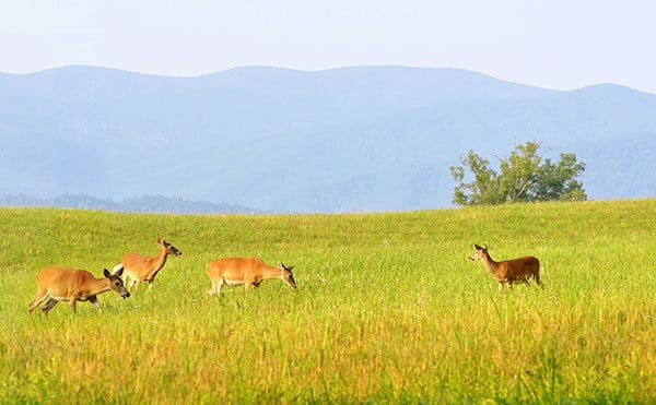 Deer in Smoky Mountain field