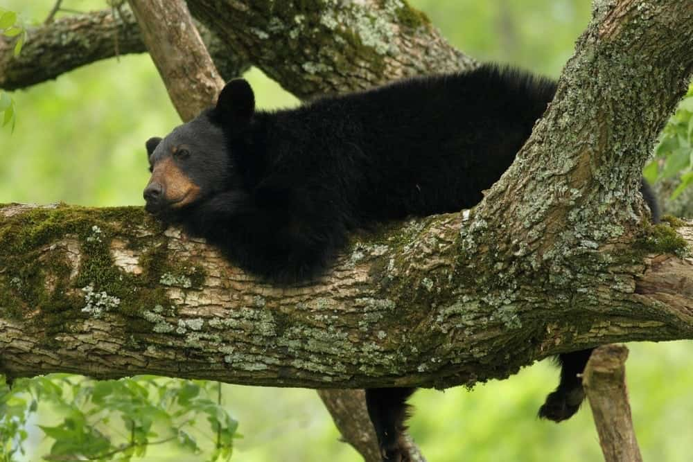 Top 3 Places to Visit to See Bears in the Smoky Mountains