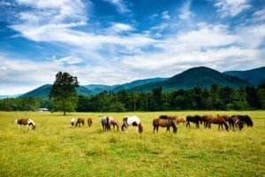 Horses grazing in a meadow in Cades Cove.